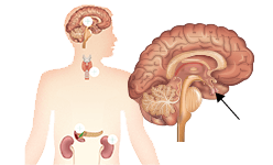 Picture of the Endocrine System
